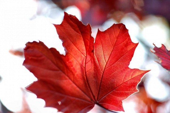 Red-Leaves-Canada-Maple-Leaf-485x728